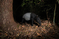 The Malayan tapir (Tapirus indicus), also called the Asian tapir or Indian tapir, is the largest of the five species of tapir and the only one native to Asia.