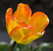 An orange and yellow tulip flower blooms in the Skagit River Delta, Washington, USA.