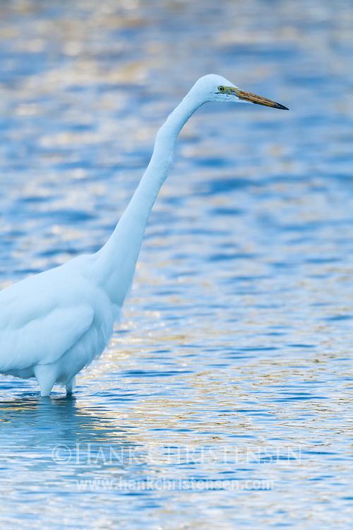A great egret stalks prey through shallow water