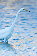 A great egret stalks prey through shallow water