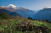"On the left is Annapurna South (23,684 feet / 7219 meters), above a corn field at Ghandruk village (or Ghandrung, 6530 feet), in the Annapurna Range of Nepal. On the right is Machhapuchhare (or Machhapuchhre), the Fish Tail Mountain (22,943 feet / 6997 meters elevation) a sacred peak, illegal to climb. Annapurna South (also known as Annapurna Dakshin, or Moditse) was first climbed in 1964 by a Japanese expedition, via the North Ridge. Annapurna is Sanskrit for ""Goddess of the Harvests."" In Hinduism, Annapurna is a goddess of fertility and agriculture and an avatar of Durga. The panorama was stitched from 2 overlapping photos."