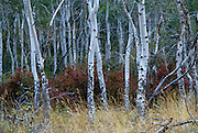 An Aspen stand with hawthorne shrubs on the Nature Conservancy's Zumwalt Prairie Preserve. The aspen stands have been slowly dissappearing from the prairie, the reasons are unclear but young saplings are typically destroyed by browsing animals such as deer and elk. Zumwalt Prairie is one of the largest remaining intact patches of bunchgrass prairie left in North America.