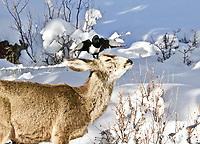 Black-billed magpie gives a mule deer a skull massage