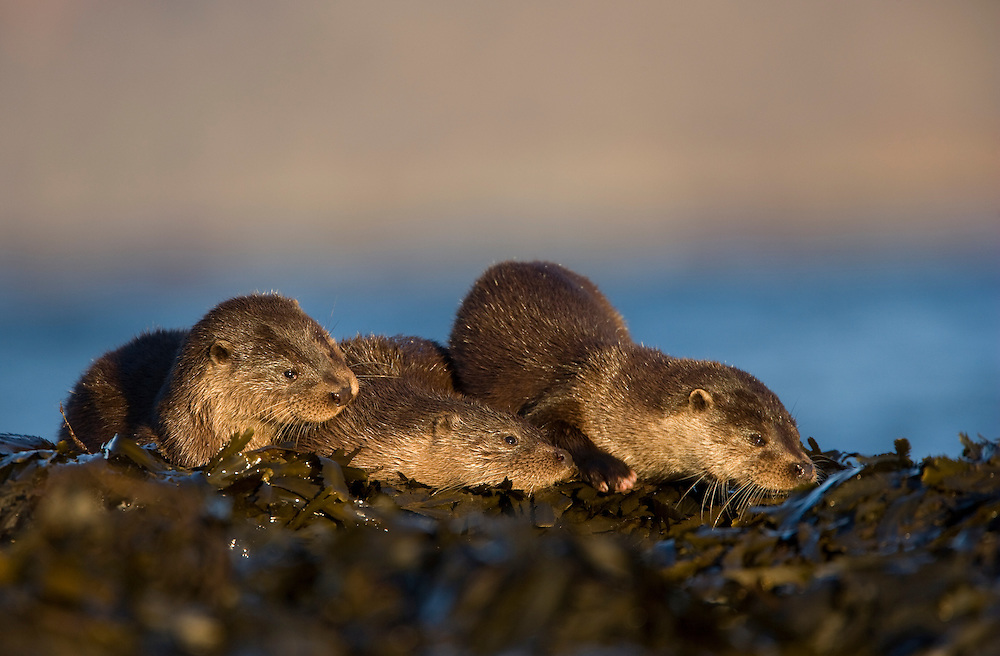 Otters (Lutra lutra) resting amongst the seaweed, Isle of Mull, Scotland, UK