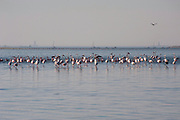 Flock of Lesser Flamingoes (Phoeniconaias minor) in Walvis Bay, Namibia