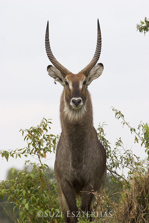 Defassa Waterbuck<br /> Kobus ellipsiprymnus<br /> Male<br /> Maasai Mara Reserve, Kenya