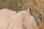 A pair of Ox-Peckers perch on the back of a White Rhino