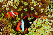 A pair of bridled anemonefish, Amphiprion frenatus, in bulb-tenacle sea anemone, Entacmaea quadricolor, Philippines.