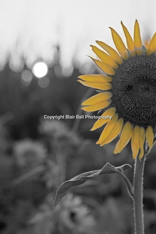 Sunset in sunflower field near Agricenter in Memphis, TN.