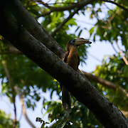 The Tickell's Brown Hornbill (Anorrhinus tickelli), also known as the Rusty-cheeked Hornbill. Kaeng Krachan National Park, Thailand.