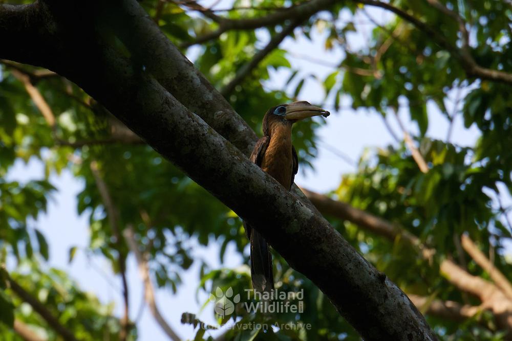 The Tickell's Brown Hornbill (Anorrhinus tickelli), also known as the Rusty-cheeked Hornbill. Kaeng Krachan National Park, Thailand.