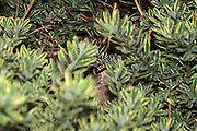 This clever little cottontail rabbit has taken refuge in a shrub.