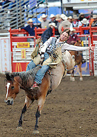Tyler Scales, from Severance, Colorado, takes a ride on the wild side  during Friday night's bareback events at the 2013 California Rodeo Salinas.