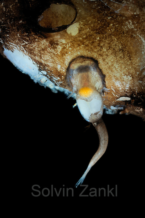 Male deep-sea anglerfish attached to female. Female Toothed seadevil (Neoceratias spinifer) with male attached. Sexual Parasitism in Ceratioid Anglerfishes. male attaches to large female; becomes a parasite. Sexual Parasitism in Ceratioid Anglerfishes <br /> In some ceratioid taxa, the male's attachment to the female is followed by fusion of epidermal and dermal tissues and, eventually, by a connection of the circulatory systems so that the male becomes permanently dependent on the female for blood-transported nutrients, while the host female becomes a kind of self-fertilizing hermaphrodite. Neoceratiidae (subclass Actinopterygii, order Lophiiformes) A monospecific family (Neoceratias spinifer) of small (6 cm long), deep-sea fish that have a large head, a large mouth, and small eyes. The jaws are equipped with many long and slender teeth. The single dorsal, caudal, and anal fins have a rounded profile, while the pectorals are small. No illicium is present. Females are larger than males; males may form a parasitic relationship with their female sex partners. They are found in all oceans. <br /> Permanent attachment is usually accomplished by means of separate outgrowths from the snout and tip of the lower jaw of the male, both of which eventually fuse with the skin of the female. In some species a papilla of female tissue protrudes into the mouth of the male, sometimes appearing to completely occlude the pharynx. The heads of some males become broadly fused to the skin of the female, extending from the tip of the lower jaw to the rear of the skull, appearing as if embedded or absorbed by their mate, while in others, the male is carried at the tip of an elongate, cylindrical stalk of female tissue. | Deep Sea fish | Tiefsee Fisch| Bezahnter Seeteufel (Neoceratias spinifer) mit angeheftetem M&auml;nnchen