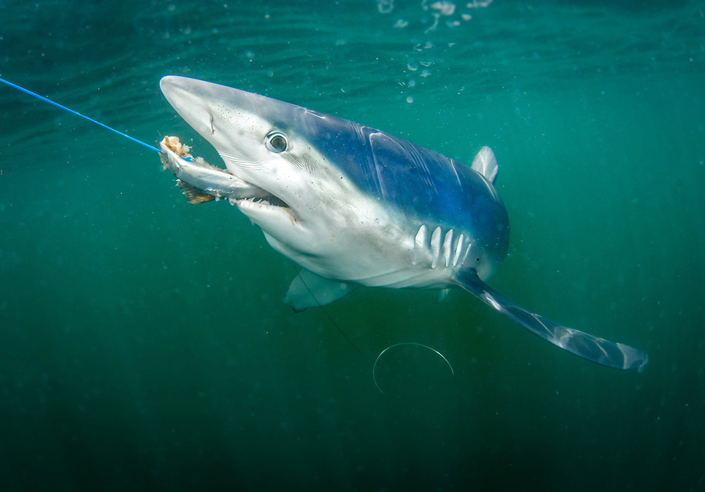 Blue shark, Montauk