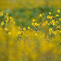 Laura Stoecker/lstoecker@dailyherald.com<br /> Wild flowers bloom amongst a field of goldenrod in Wasco.