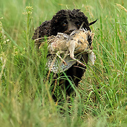 Photography of spaniels in the field, during an AKC approved Hunt Test.  Hunt Test took place at the Bong Recreation Area, Burlington, WI, Sept 1, 2012..
