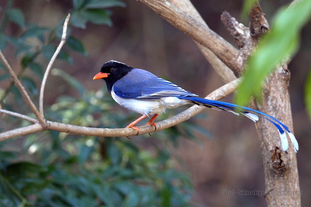 Red-billed Blue Magpie, Urocissa erythroryncha, India, by Rich Lindie
