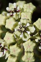 Antelope Horn Blossom, Ascelpias asperula, Blanco County, TX