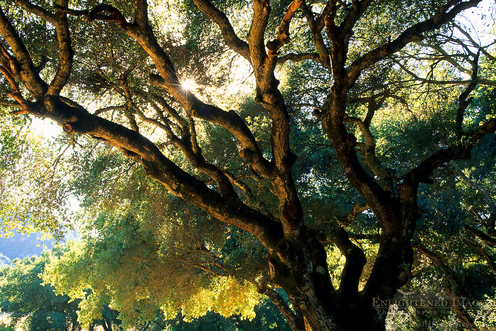 Oak Tree and sun, Galante Vineyards, above Carmel Valley, Monterey County, California