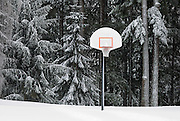 Basketball Hoop in snow, Mount Tabor Park. Sitka Spruce (Picea sitchensis) and Douglas fir (Pseudotsuga menziesii) trees behind.