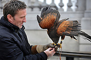 © Licensed to London News Pictures. 13/03/2012. London, UK. Wayne feeds lizzie. Wayne Parsons flies Lizzie, aged 3, the American Harris Hawk in London's Trafalgar Square today. Wayne and Lizzie are employed by the Greater London Authority to control the pigeon population in the famous square. Lizzie was reared from birth by Wayne but not 'imprinted', meaning she retains her natural ability to hunt. Lizzie only catches 5 or 6 pigeons a year as the very site of her scares them away.  Photo credit : Stephen SImpson/LNP