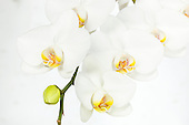 Royalty Free Orchids 11-17-2014