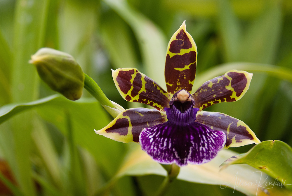 Brightly patterned yellow, brown, purple and white orchid flower
