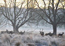 © Licensed to London News Pictures. 17/01/2012, Richmond, UK. Deer and frost during Sunrise at Richmond park on Tuesday 17th January 2011.  Photo credit : Stephen Simpson/LNP