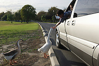 Boy (5-6) feeding geese from car