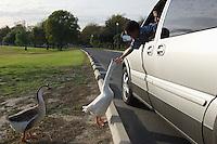Boy (5-6) feeding geese from car