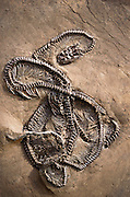 Fossilized remains of a snake. The snakes evolved from monitor-like lizards some time toward the end of the Cretaceous Period (65 million years before present). The first types to evolve were the boas and pythons; the venomous snakes are not known before the Eocene Period (c.30 million years BP). (1991)