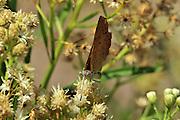 A butterfly sits on flowers in Gardner Canyon, near Sonoita in the Santa Rita Mountains, Coronado National Forest, Sonoran Desert, Arizona, USA.