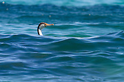 Pied Shag, off the coast of Tiritiri Matangi, New Zealand