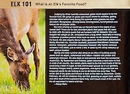 Image of a Roosevelt Elk eating grass was used for an article on and elk's diet in the Sept-Oct 2015 issue of Bugle Magazine.