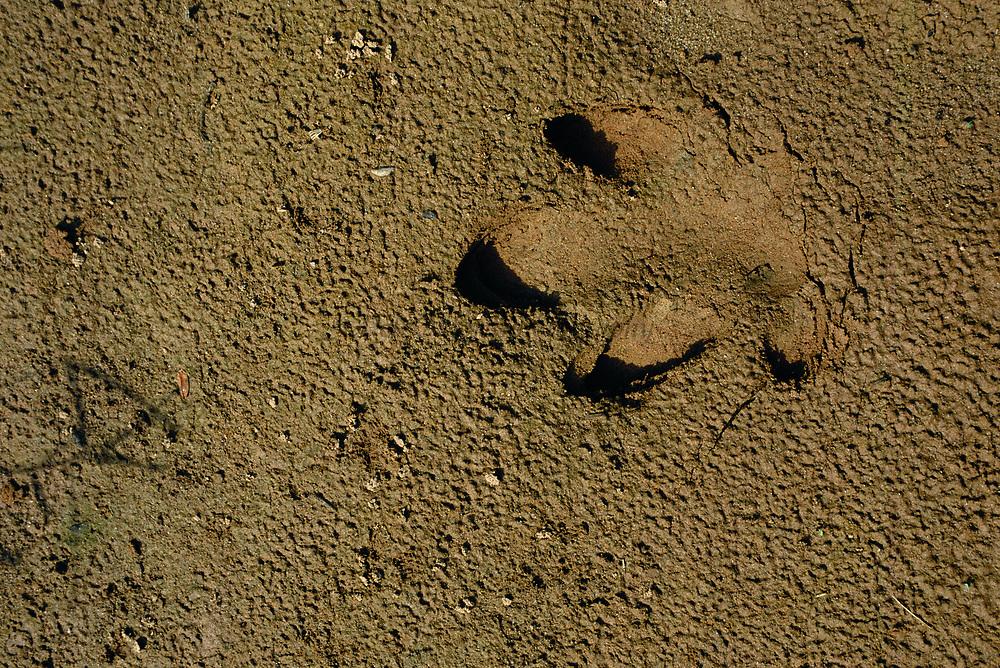 Brazilian Tapir Footprint<br />Tapirus terrestris<br />Lower Urubamba River. Amazon Rain Forest, PERU<br />South America