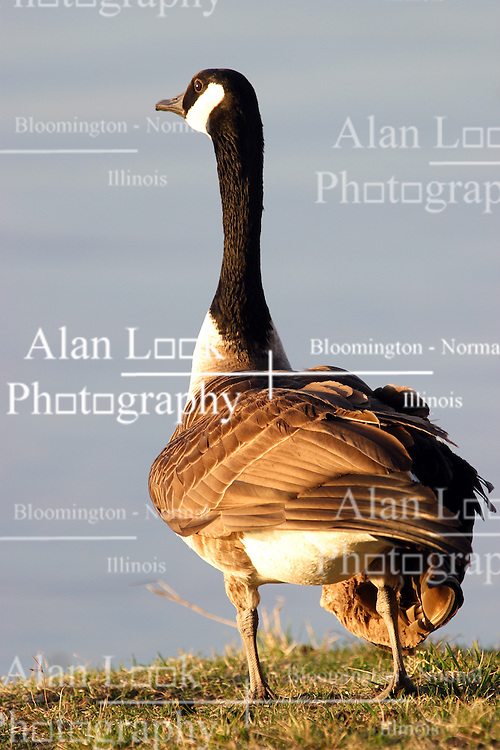 09 April 2005:   A Canadian Goose with an apparent injured wing walks on shore.