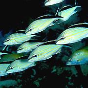 Cottonwick inhabit reefs in Tropical West Atlantic; picture taken St. Vincent.