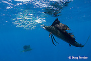 Atlantic sailfish, Istiophorus albicans, eats a sardine knocked out of a bait ball of Spanish sardines (aka gilt sardine, pilchard, or round sardinella ), Sardinella aurita, off Yucatan Peninsula, Mexico ( Caribbean Sea ) #3 in sequence of 3 images
