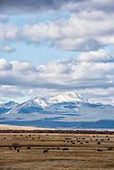Big Hole Valley, Bitterroot Range, Angus cattle, Montana