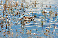 A Wilsons Phalarope searches the shallow waters of a local marsh for insects and mosquitos.
