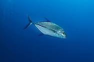 Bluefin trevally-Carangue bleue (Caranx melampygus) of Red Sea.