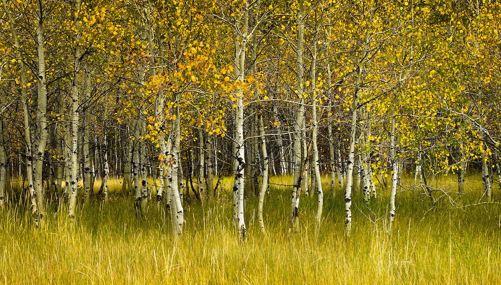 Aspens in fall, near Sun Valley Idaho