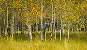 Aspens in fall, near Sun Valley Idaho