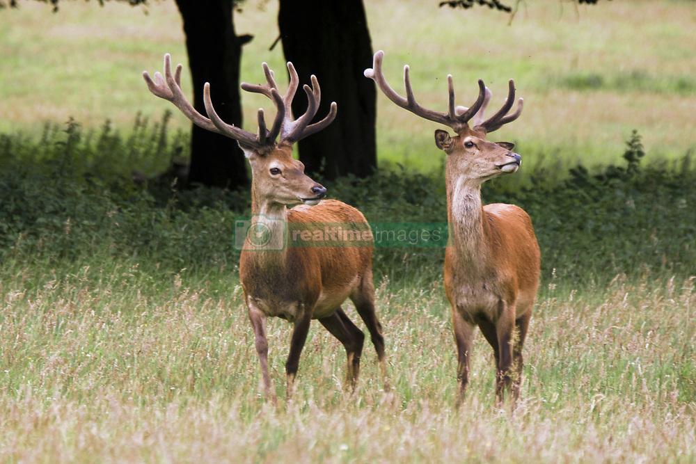 July 21, 2019 - Elk In The Wild (Credit Image: © John Short/Design Pics via ZUMA Wire)