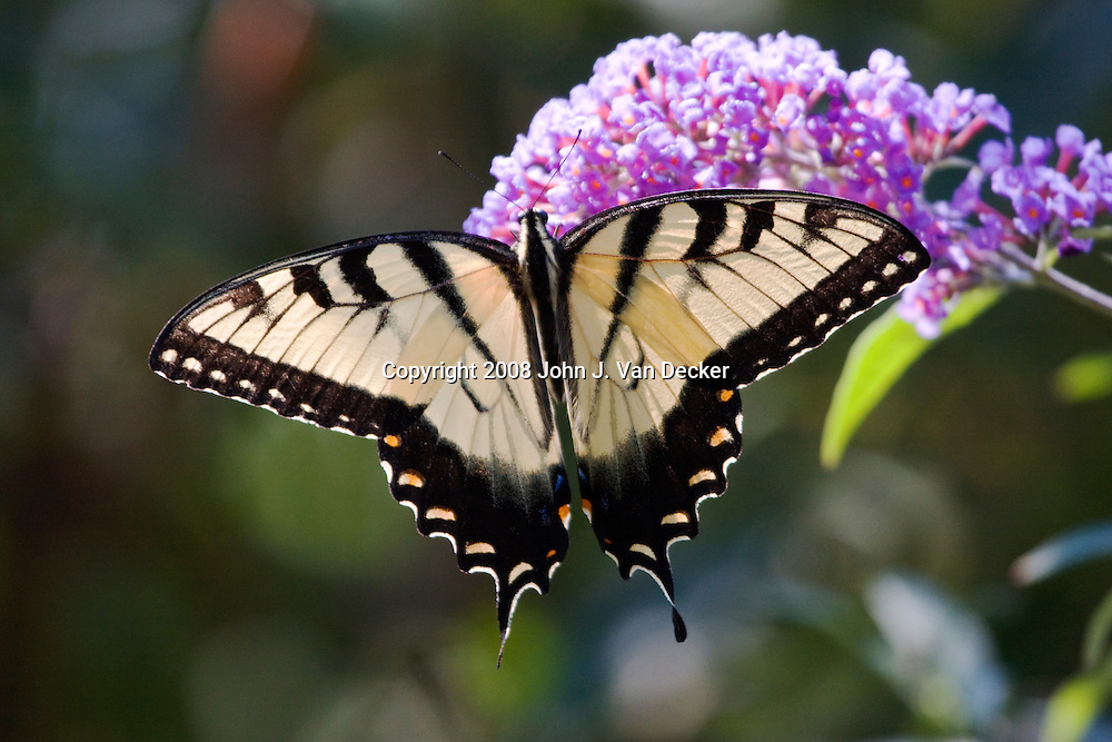 Eastern Tiger Swallowtail Butterfly on purple lilac flower with wings spread, Papilio glaucus