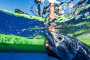 Extreme kayak fishing in Hawaii with da Aquahunters.