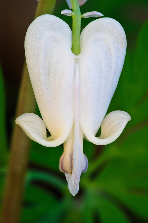 A late afternoon macro image of a squirrel corn (Dicentra canadensis) blossom, Turkey Run Park, George Washington Memorial Parkway, Virginia.