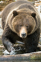 Grizzly bear hunting for salmon along the shoreline of Chilko Lake which is located in the interior of British Columbia, Canada.