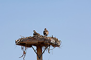 Osprey (Pandion haliaetus) in nest on man made platform, Big Hole Valley, Montana